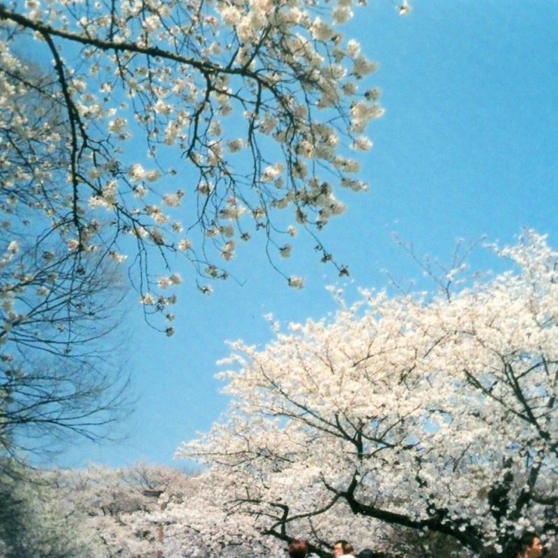 お花見の季節