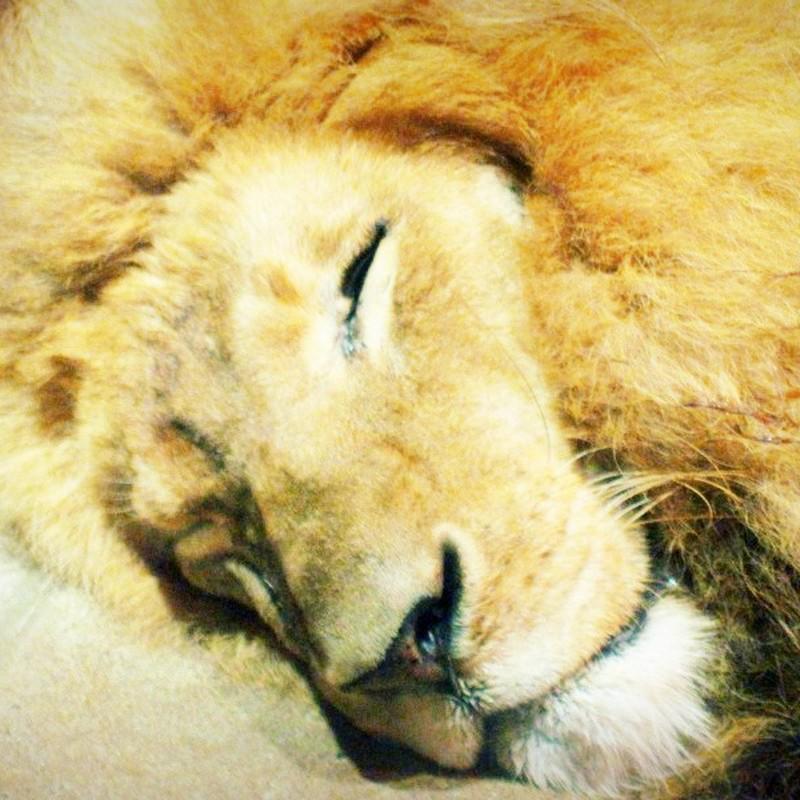 くつろぎライオン