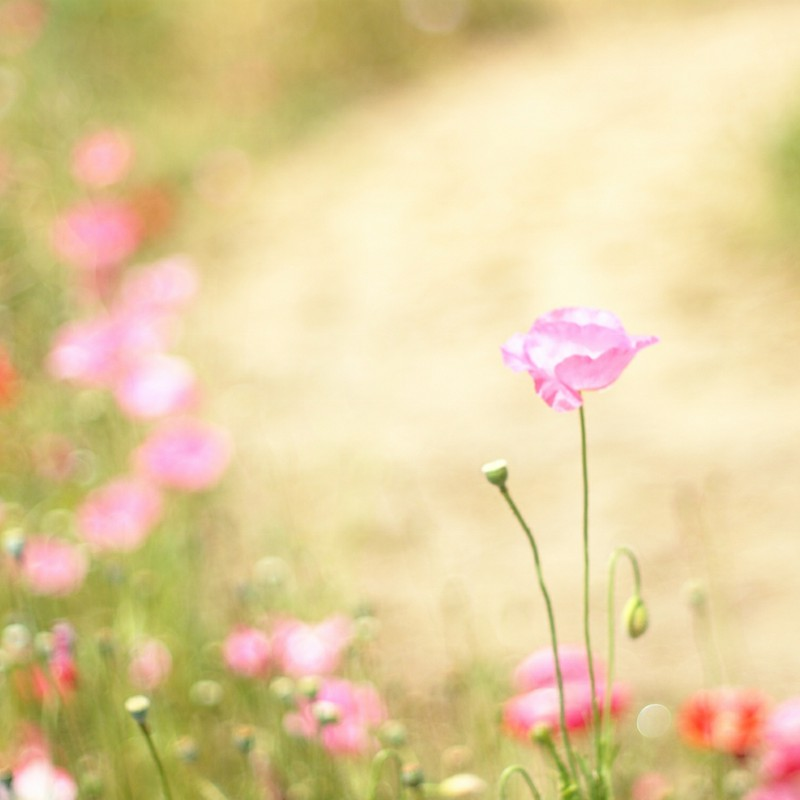 薄桃色の花びら 其ノ二