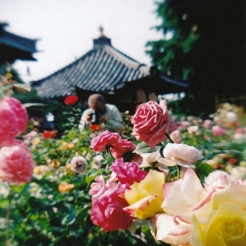薔薇激写中のオッチャン