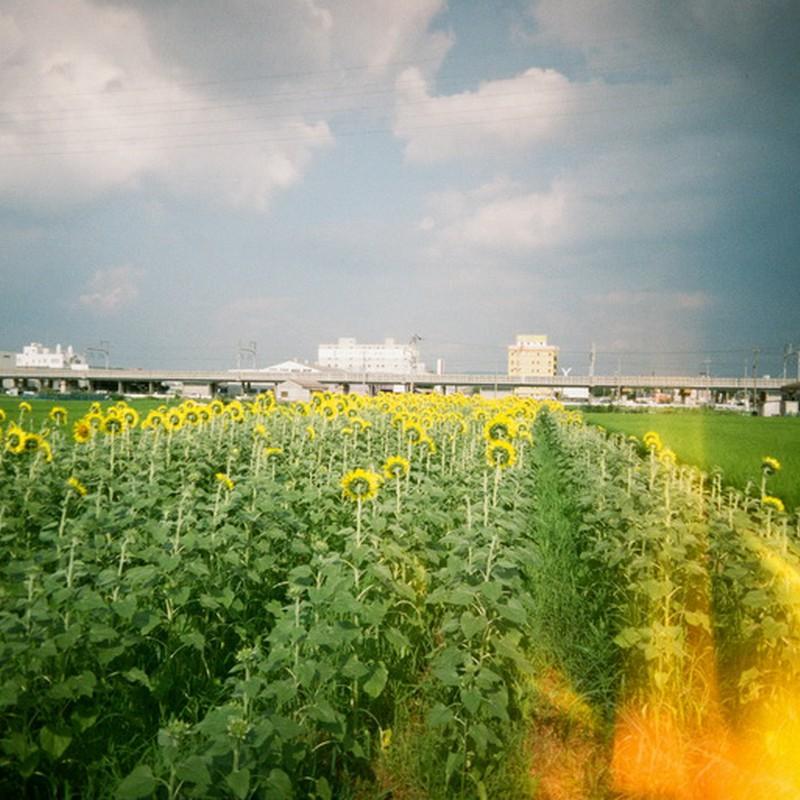 燃える向日葵畑