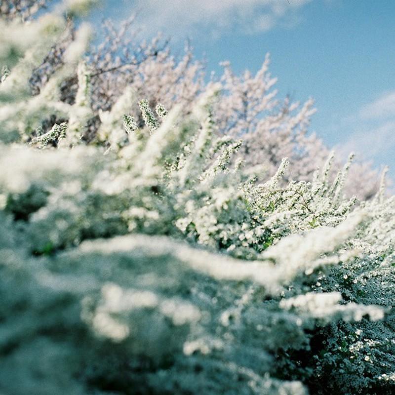 山盛り雪柳、桜少々