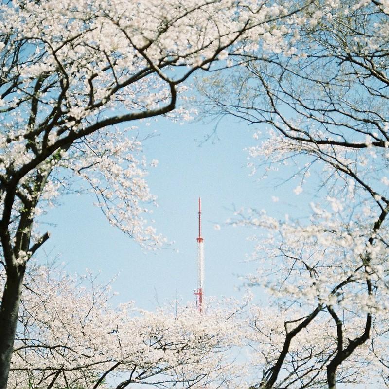 桜の中の鉄塔