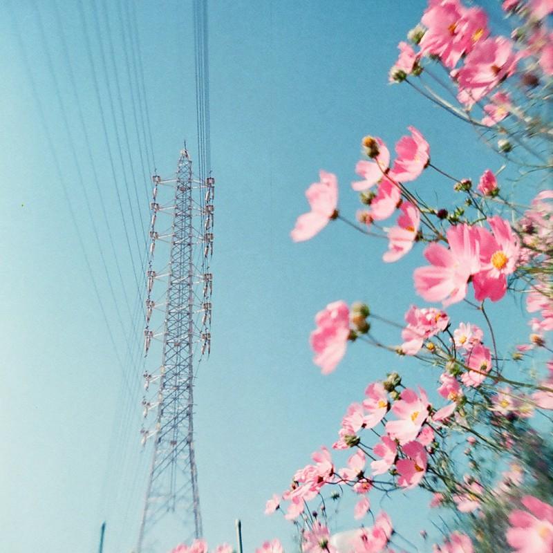 秋桜 & 鉄塔