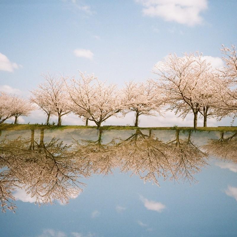 春 分の 桜