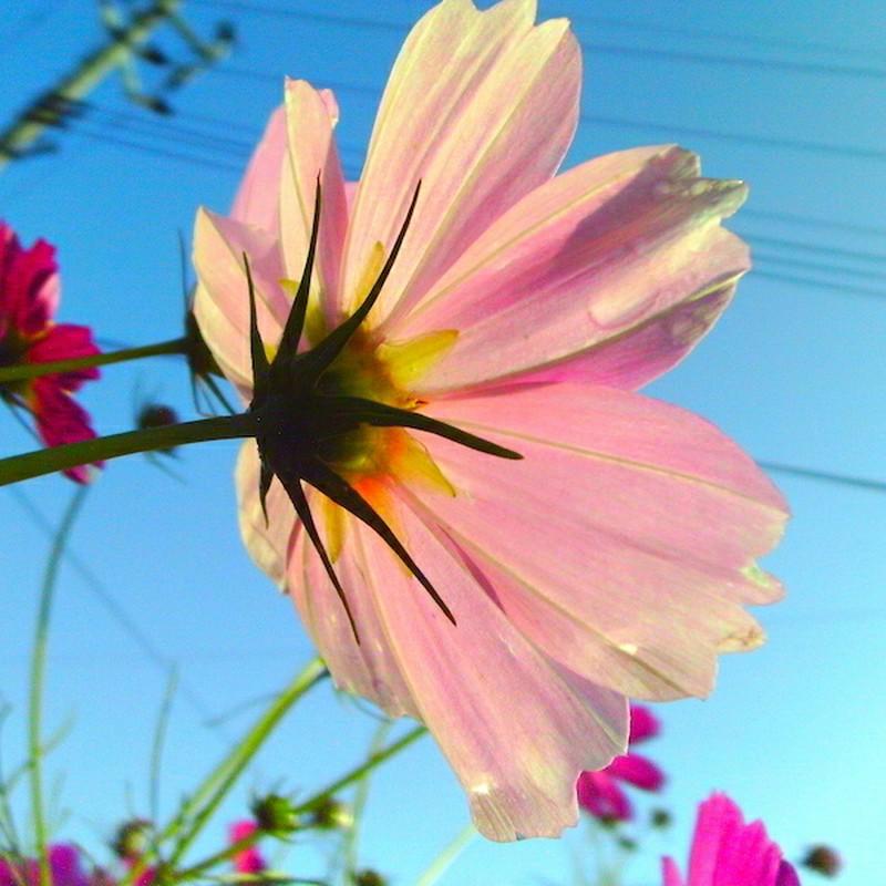 朝露の秋桜