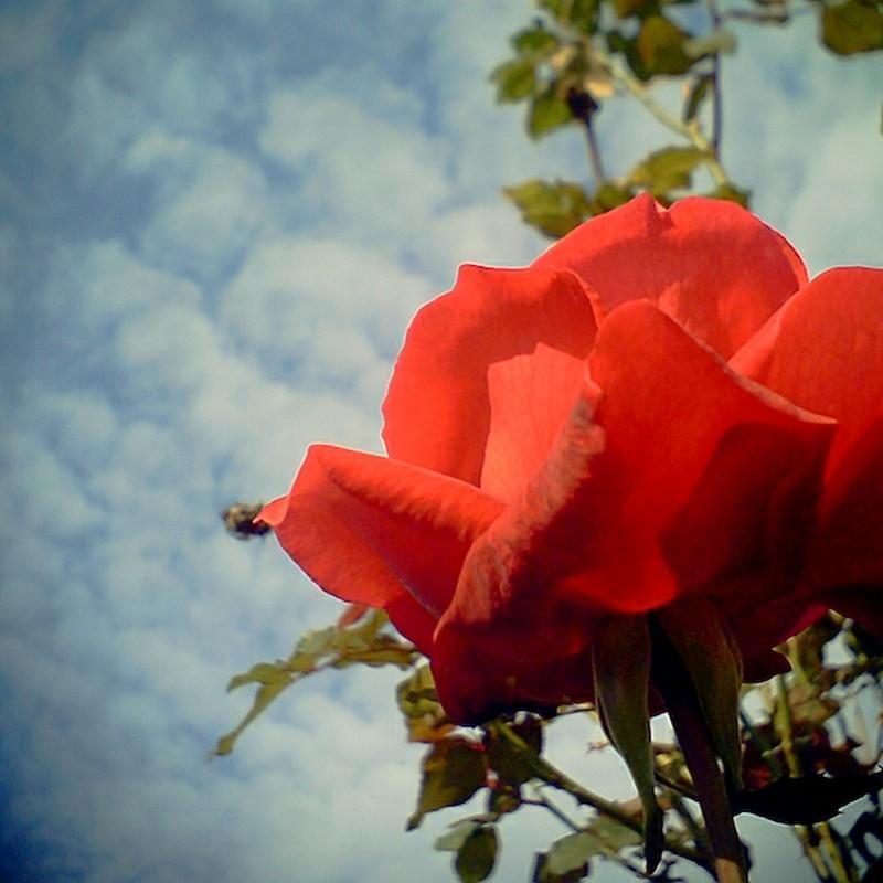 薔薇と秋空
