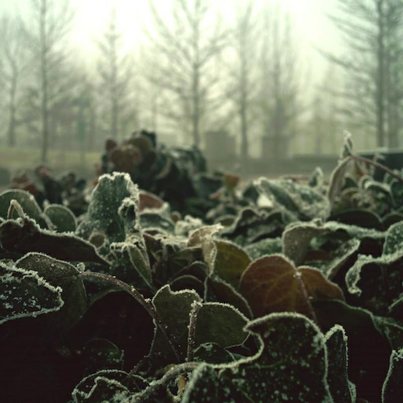 霜降りアイビー