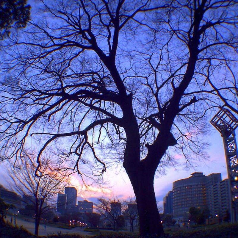 カンテーレ前の大きな樹