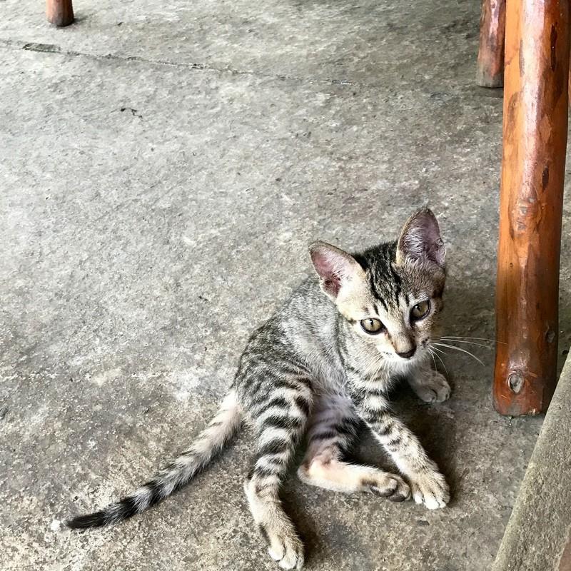 ラオカイの子猫