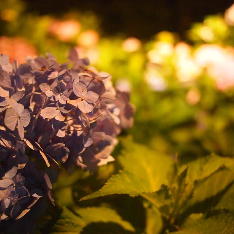 夜紫陽花。