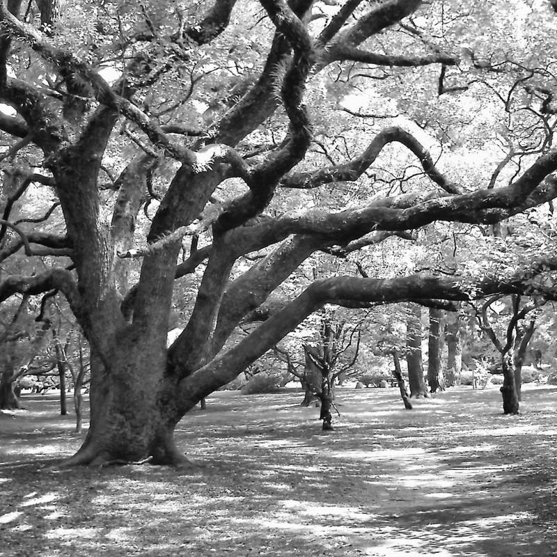 御所の樹。