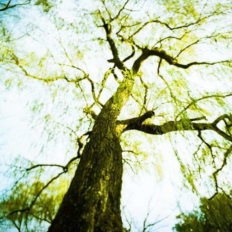 光にとけそうな木