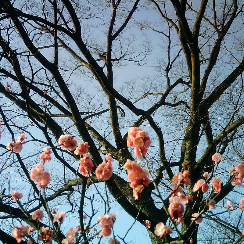 枯れ木に梅。