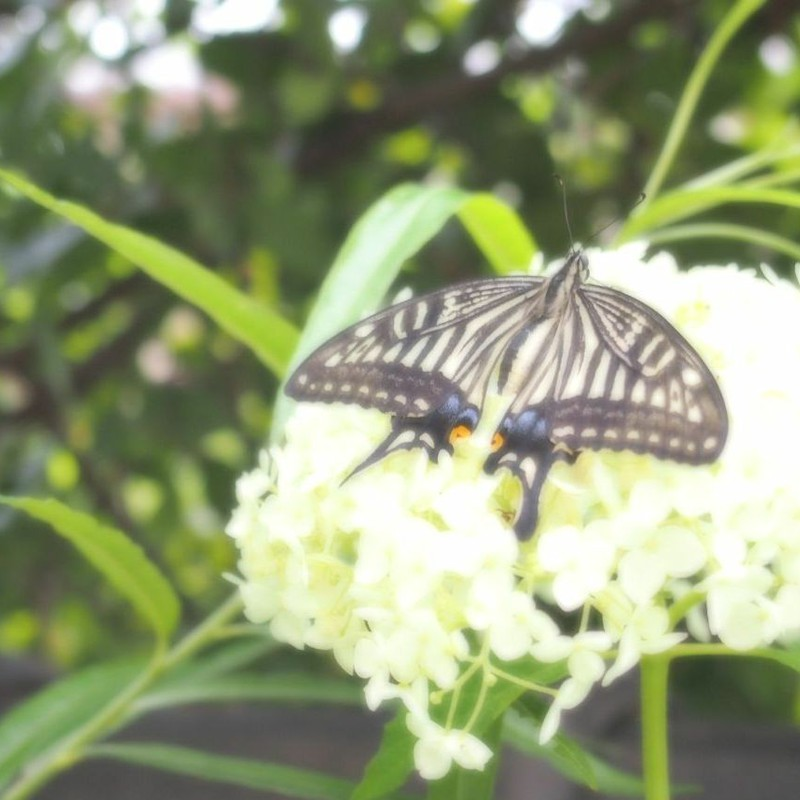 Swallowtail Butterfly 〜あじさいのうた〜