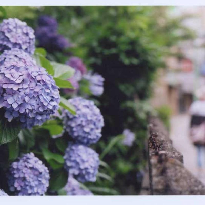 見送る紫陽花