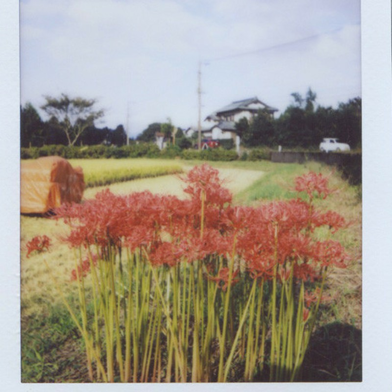畑と曼珠沙華