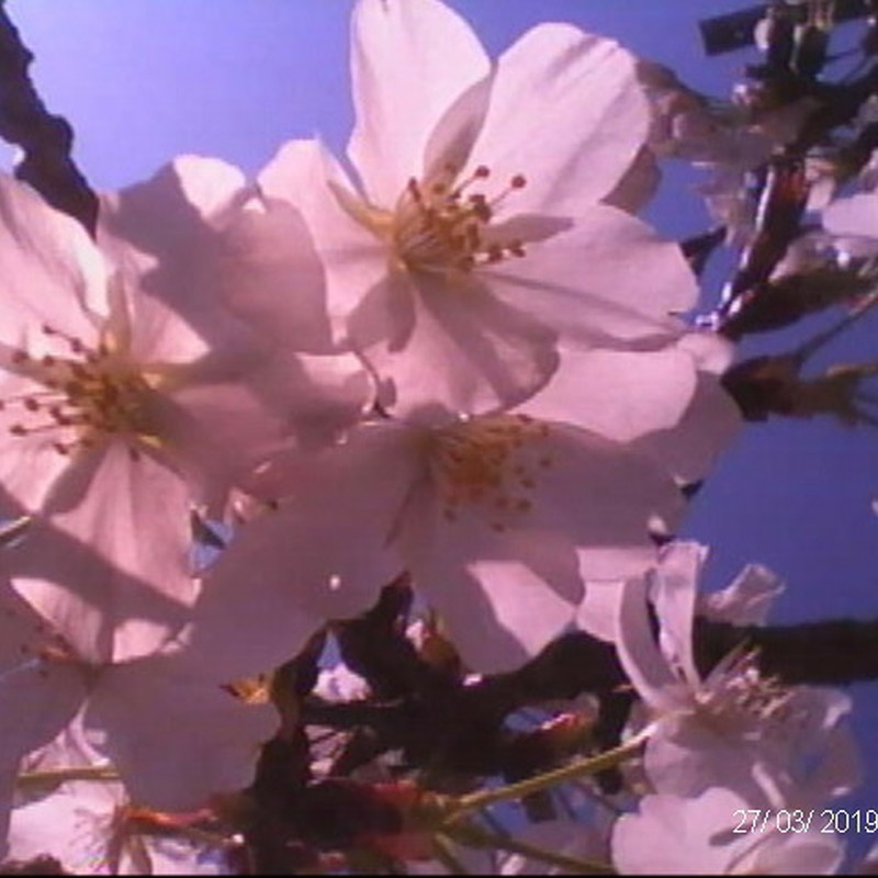 白がピンクに。。。