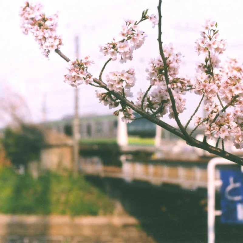 横浜線と桜