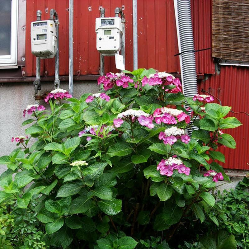 空気を読む紫陽花