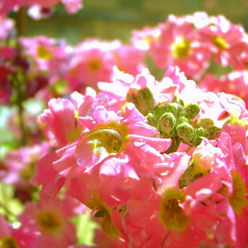 研究室に咲いているサクラソウ。