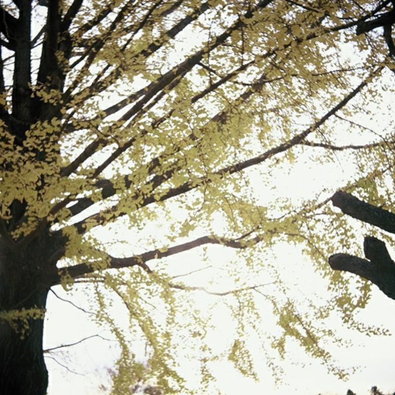 秋のしだれ銀杏