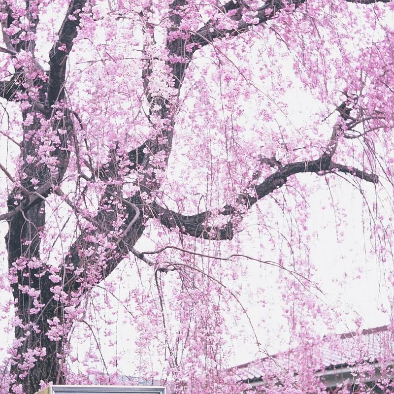 枝垂桜給油所