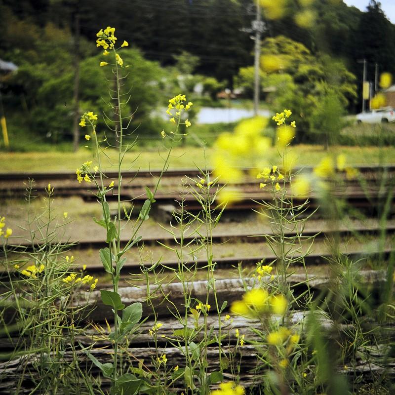廃線と菜の花