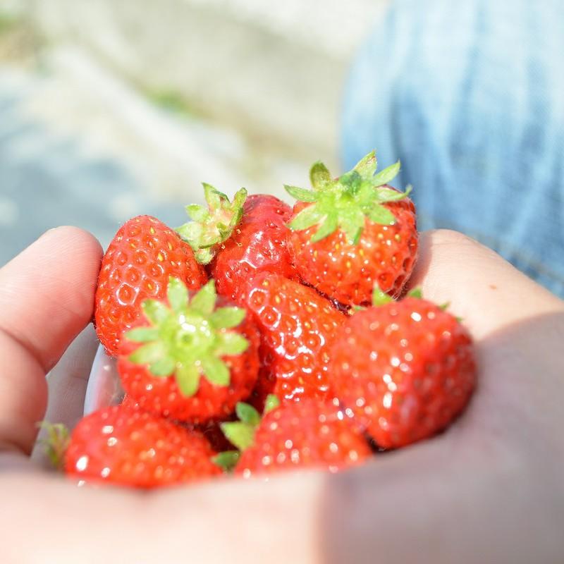 手、いっぱいに苺を♪