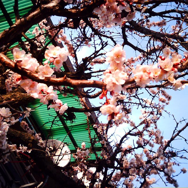 人様の家の桃ノ木