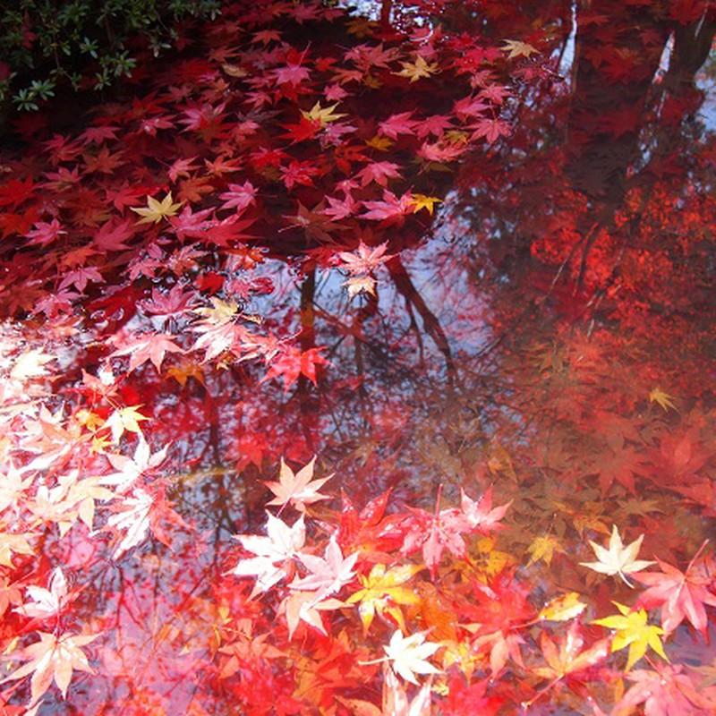 池に浮かぶ紅葉☆