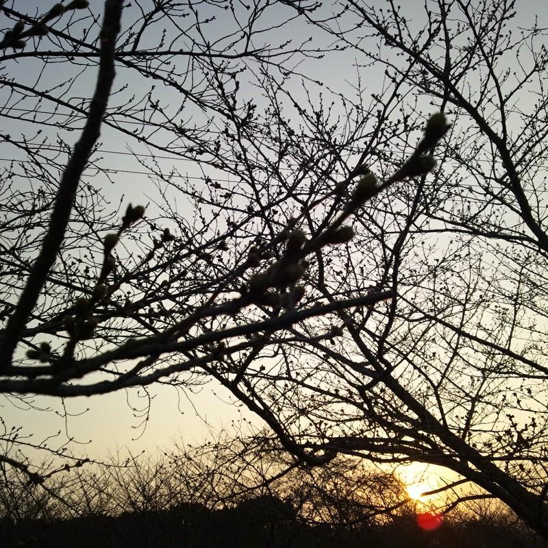 つぼみと夕日