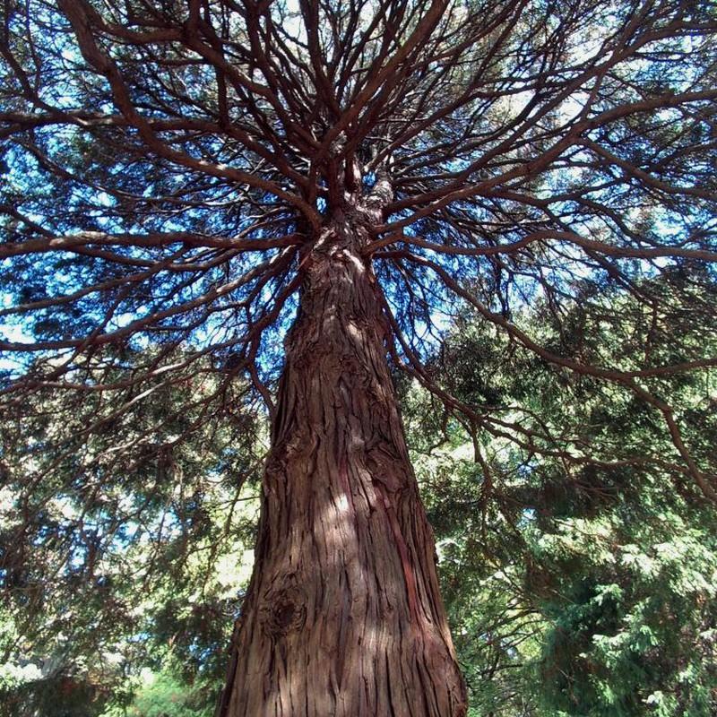 印象派の木