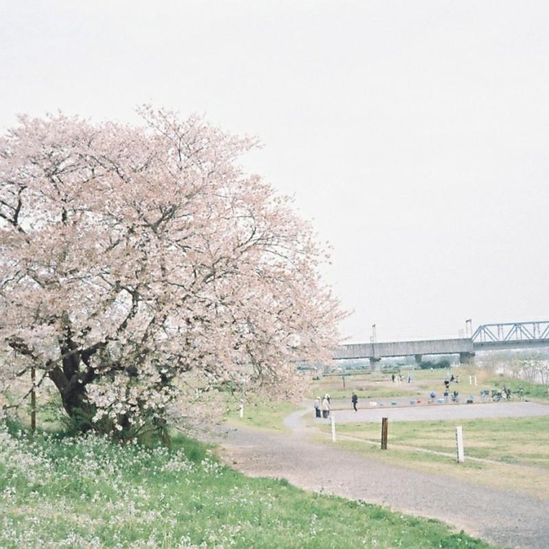 毎年見に行くいちばん好きな桜の樹です