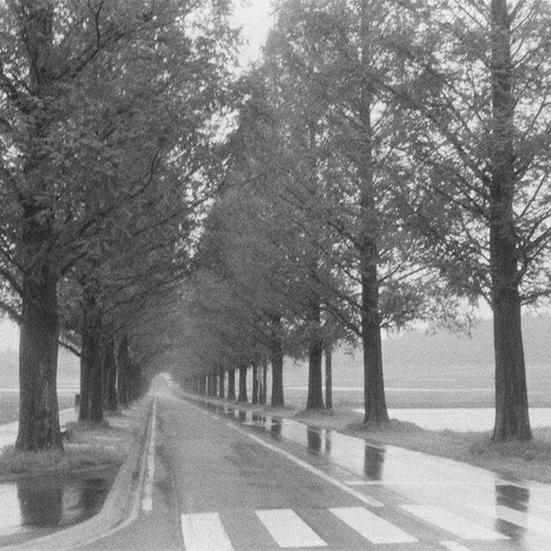 雨のポプラ並木