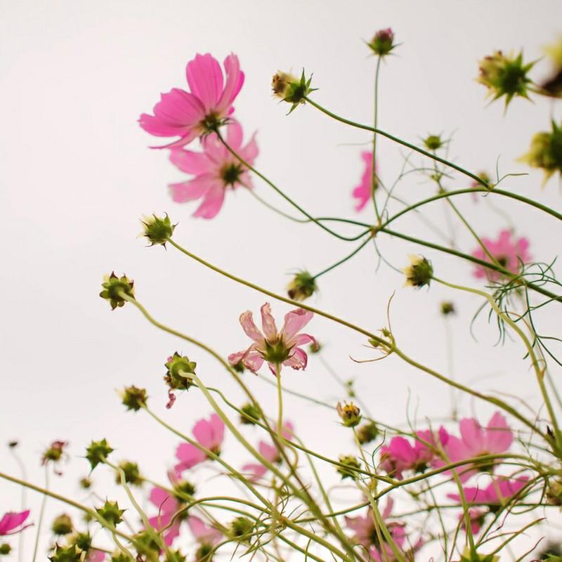 丹波の秋桜