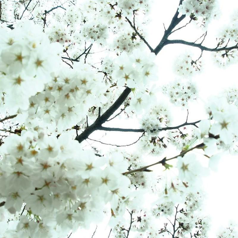 さくらの花の咲くころに♪