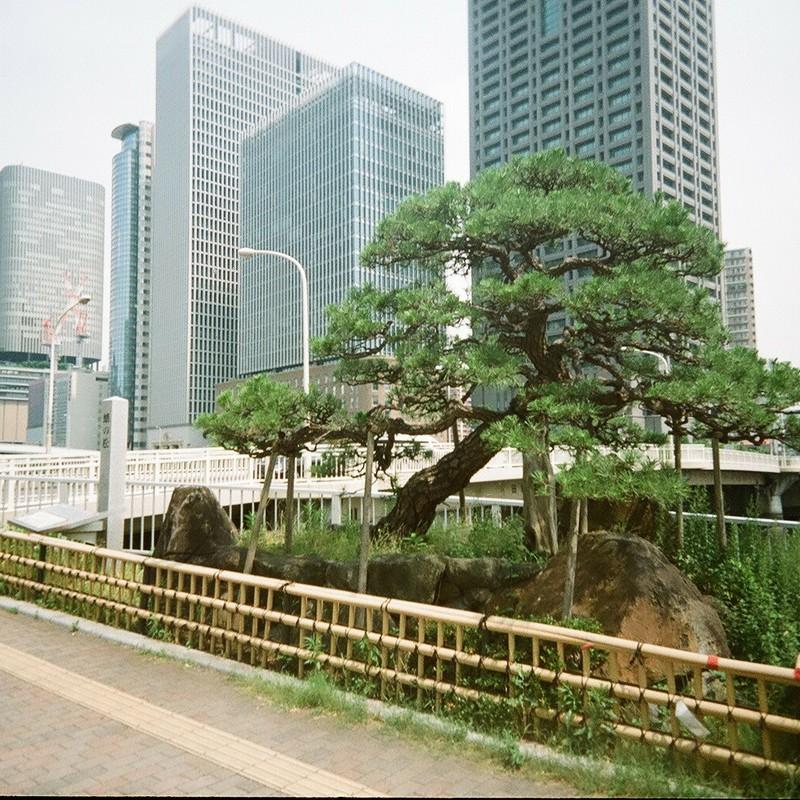 川沿いの松の物語