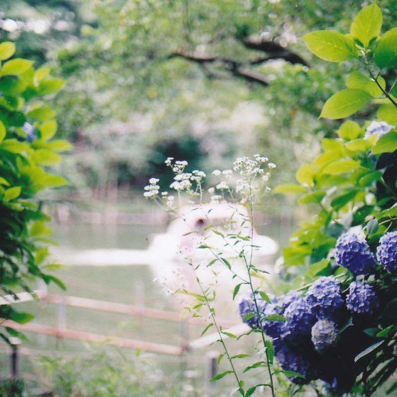 紫陽花に挟まれて