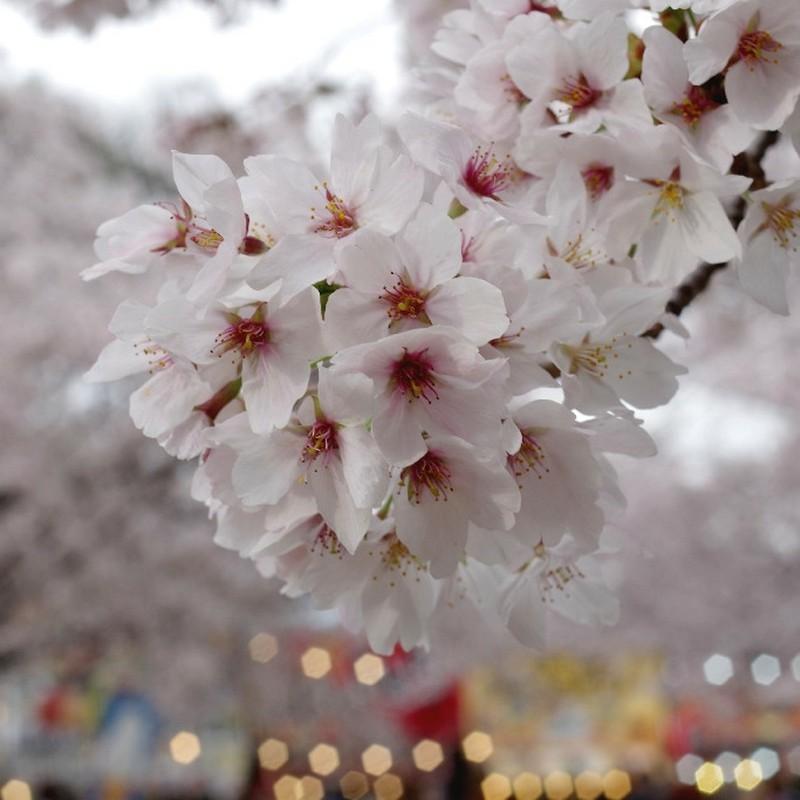 CT民の桜祭り
