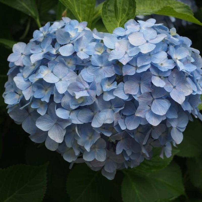 去年の紫陽花