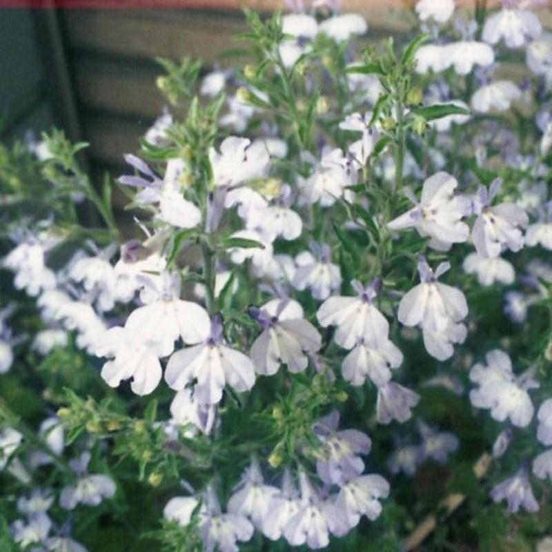 かわゆいお花
