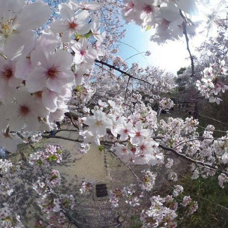 うちの庭の桜が満開になりました