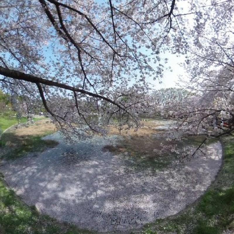 桜に抱かれる/2018年版(南)