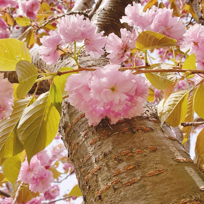 牡丹桜かな?