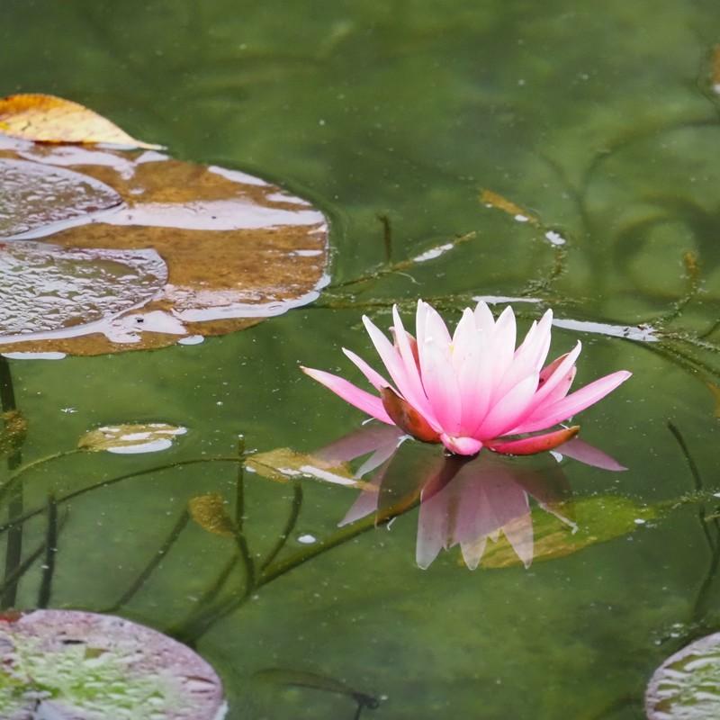 モネの池の水連