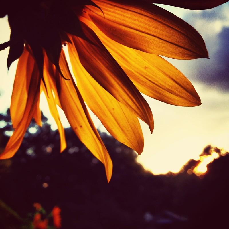 秋向日葵。