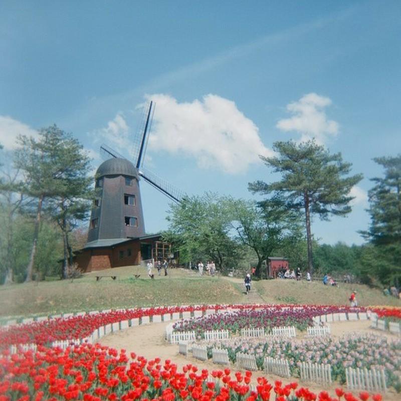 風車とチューリップ。