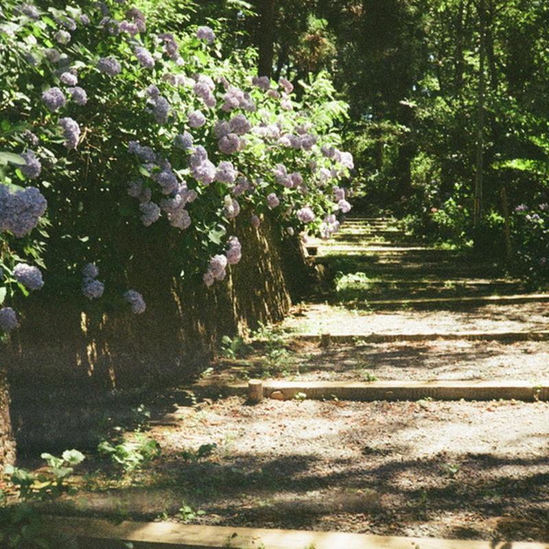 紫陽花の道。