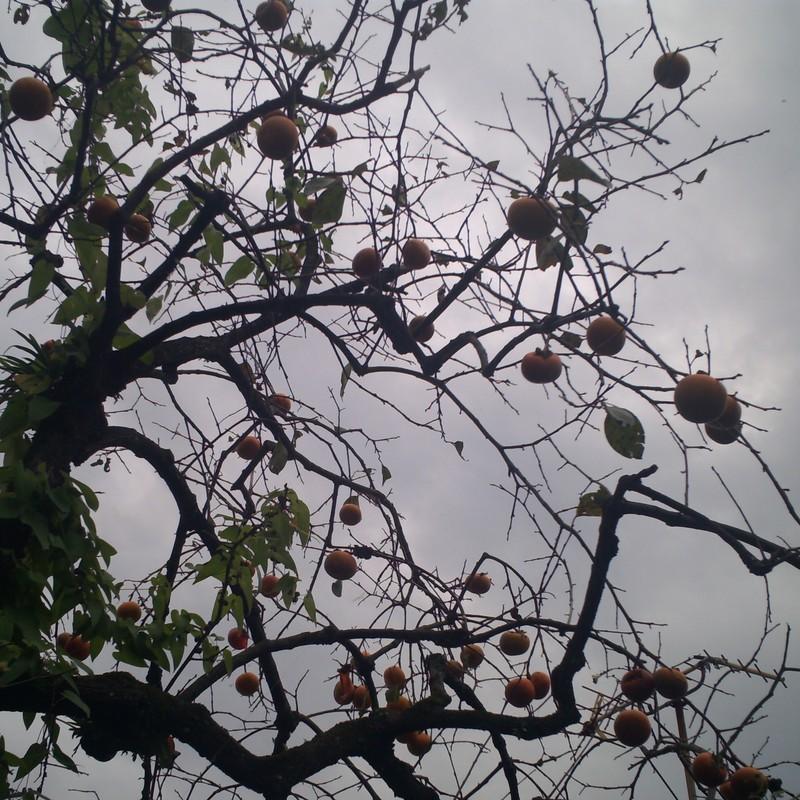 柿の木 秋